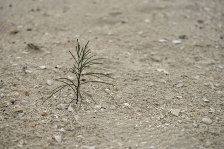 Seedlings of pine trees is growing on beach with blur background.