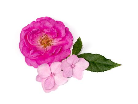 Pink Damask Rose flower (Rosa damascena) and Hydrangea flower on white background. Zdjęcie Seryjne - 132003507