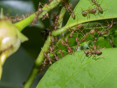 Unity of Rad Ants are building leaf nests. (Scientific name Oecophylla smaragdina)