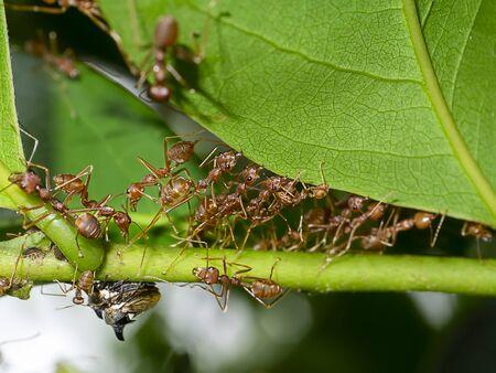Unity of Rad Ants are building leaf nests. (Scientific name Oecophylla smaragdina) Foto de archivo