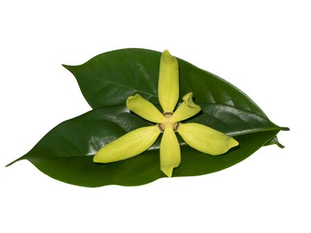 The fragrant flowers of climbing ylang-ylang, ilang-ilang, manorangini, hara-champa or kantali champa plant with leaf isolate on white background
