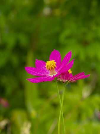 Close up three cosmos flower with blur background.