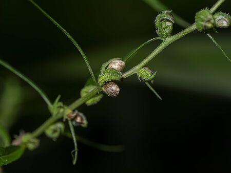 Close up dry seeds of Green Marijuana or Thai stick seeds and flowers on branch in dark background. (Cannabis sativa indica) Cannabis vegetation plants, hemp marijuana CBD.