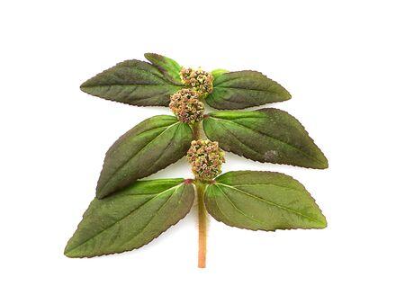 Garden Spurge leaves (Euphorbia hirta plant) on white background.