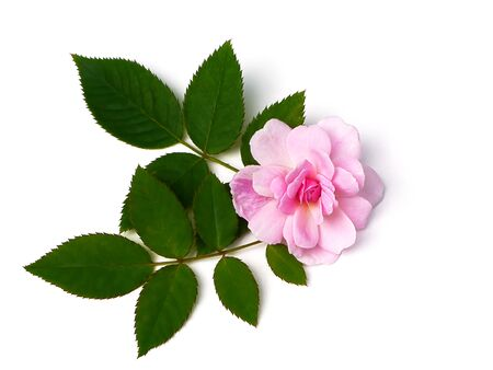 Pink of Damask Rose flower with leaves on white background. (Rosa damascena)