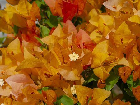 Close up of Orange Paper flower or Bougainvillea flower (Bougainvillea glabra Choisy)