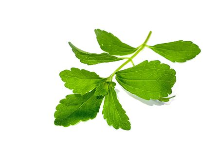 Fresh Stevia rebaudiana (Bertoni) leaves on white background.