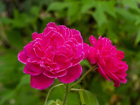 Close up deep pink of Damask Rose flower. (Rosa damascena)