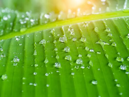 Water drop on the banana leaf after rainfall with sunlight.