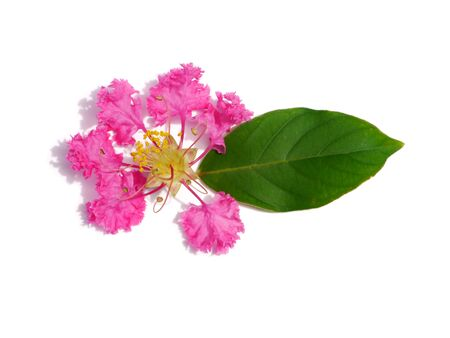 Close up of Crape Myrtle Flowers and leaf on white background with soft shadow. (Lagerstroemia indica L.) 版權商用圖片