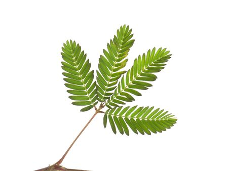 Close up leaf of Sensitive plant or mimosa pudica plant on white background.