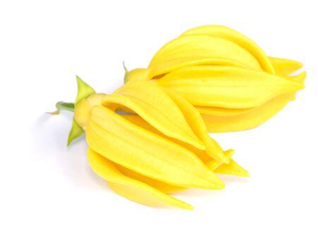 fragrant flowers of climbing ylang-ylang, ilang-ilang, manorangini, hara-champa or kantali champa on white background with soft shadow.