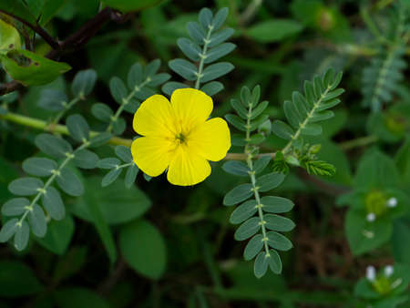 Close up The yellow flower of devil's thorn (Tribulus terrestris plant) with blur leaves on dark background.