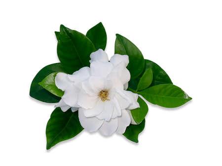 White Gardenia flower or Cape Jasmine isolate on white background with soft shadow (Scientific name Gardenia jasminoides) Stock Photo