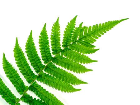 Close up Boston Fern leaf on white background. (Scientific name: Nephrolepis exaltata (L) Schott.)