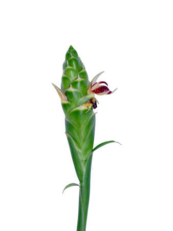Close up of Ginger or zingiber officinale roscoe flower isolated on white background