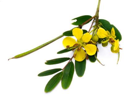 Close up flower of Cassod tree or Senna siamea on white background.