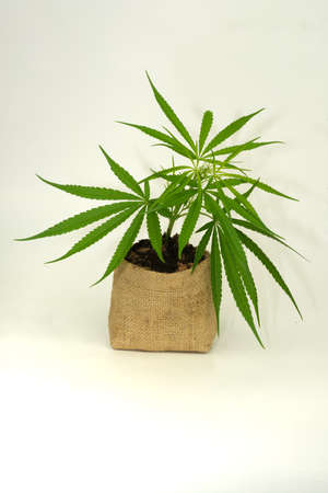Planting marijuana plants in pots for planting and propagation.