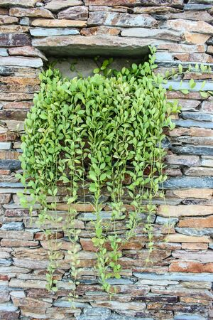 the stone wall with the green plants photo