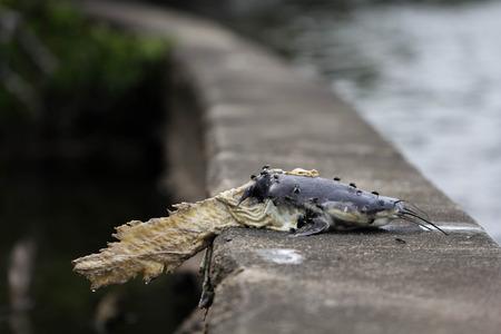 Catfish dead body eaten by water lizard around with flies on dam