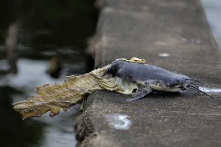 catfish: Catfish dead body eaten by water lizard around with flies on dam