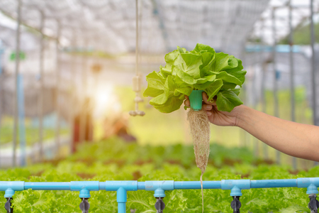 Man hand holding green cos lettuce with Hydroponic farm in backgroundFresh hydroponic vegetable on hand in garden.Bio organic vegetables, Hydroponic plant growing in greenhouse.