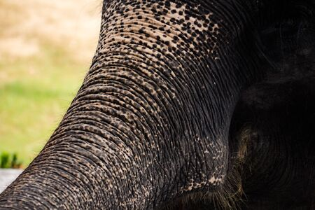 Close up elephant head with wrinkled texture skin in nature green background. Stock Photo