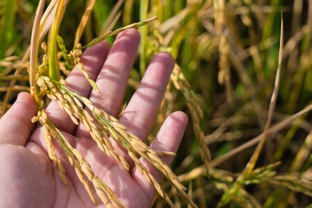 Farmer hand tenderly touching young fresh rice, holding golden organic rice in hand. Agriculture farming industrial concept.