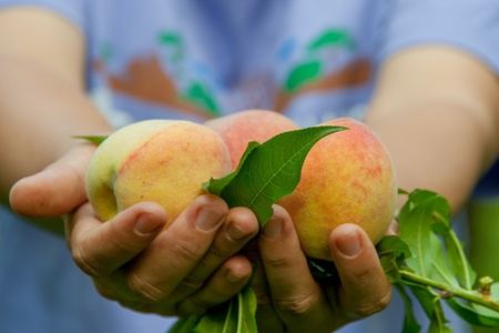 farming village: Fresh Picked Peaches in hands
