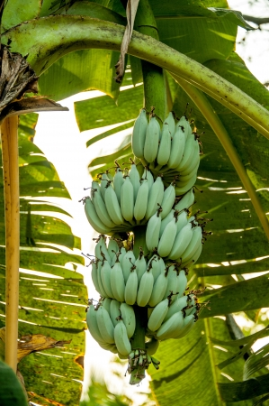 Close up stalk of bananas in the garden Thailand photo