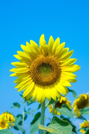 Close up of sunflower over the sky photo