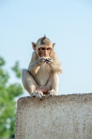 comiendo platano: Peque�o mono comiendo pl�tanos
