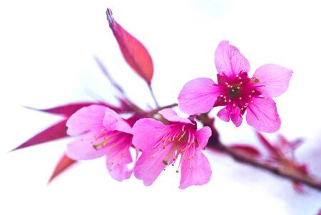 Flowers in Thailand that is similar to flowering cherry Stock Photo - 8562528