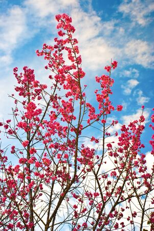 Flowers in Thailand that is similar to flowering cherry Stock Photo - 8562553