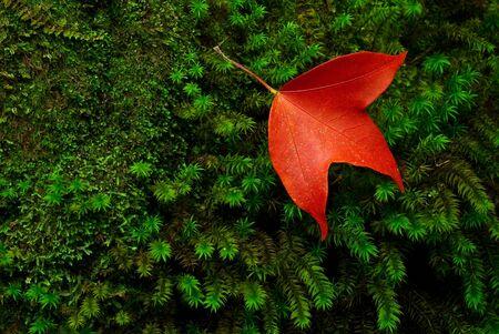 Maple leaf species found in Thailand Stock Photo