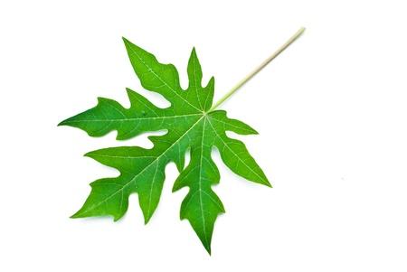 Papaya leaf isolated on white. Stock Photo
