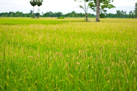 Rice paddy fields in rural areas.
