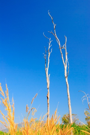 Dead trees and dry. With blue skies.