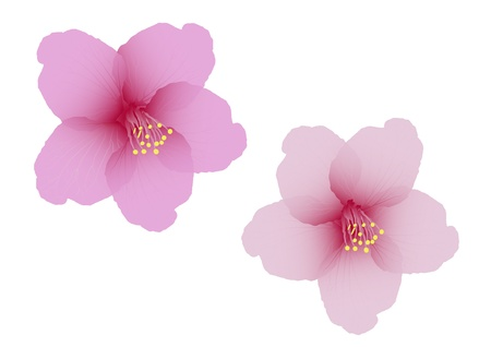 fleur cerisier: Le vecteur de fleurs de cerisiers en fleurs Illustration