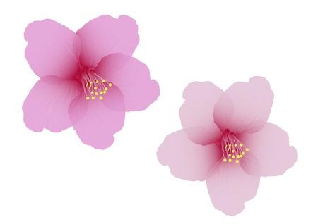 blossom: The cherry blossom flower vector
