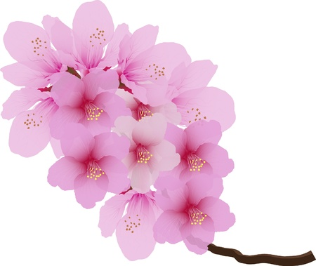 sakuras: Vector cherry blossom aislado sobre fondo blanco