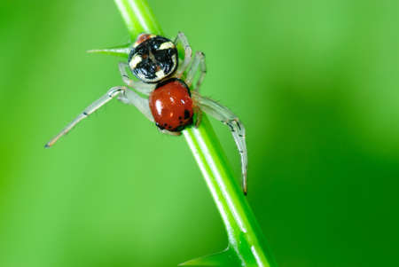 Red spider jumper on the branches green. Stock Photo