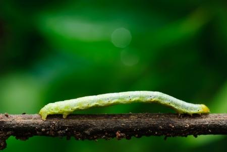 Green caterpillar on a tree. Stock Photo