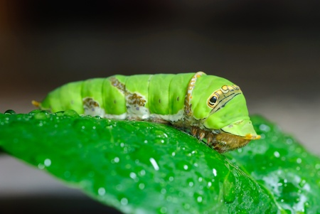 Green caterpillar on a leaf.