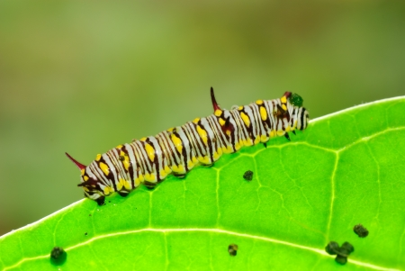 Caterpillars on the leaves. Stock Photo