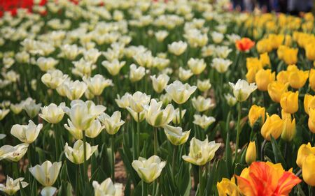 muti: Colorful tulip field taken from South Korea