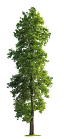 large tree: Green Tree isolated against a white background Stock Photo