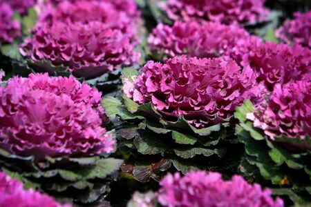 decorative cabbage in blossom Taken from garden at Doi Ang Khang, Chiang Mai, Thailand. Stock Photo - 7309431