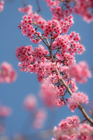 cherry blossoms against the blue sky Stock Photo - 7408772