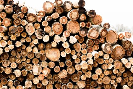 eucalyptus trees: eucalyptus trees for constructions or furnitures